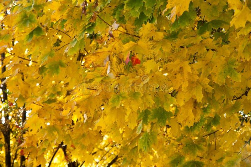 Folhas de outono na árvore do outono imagem de stock royalty free