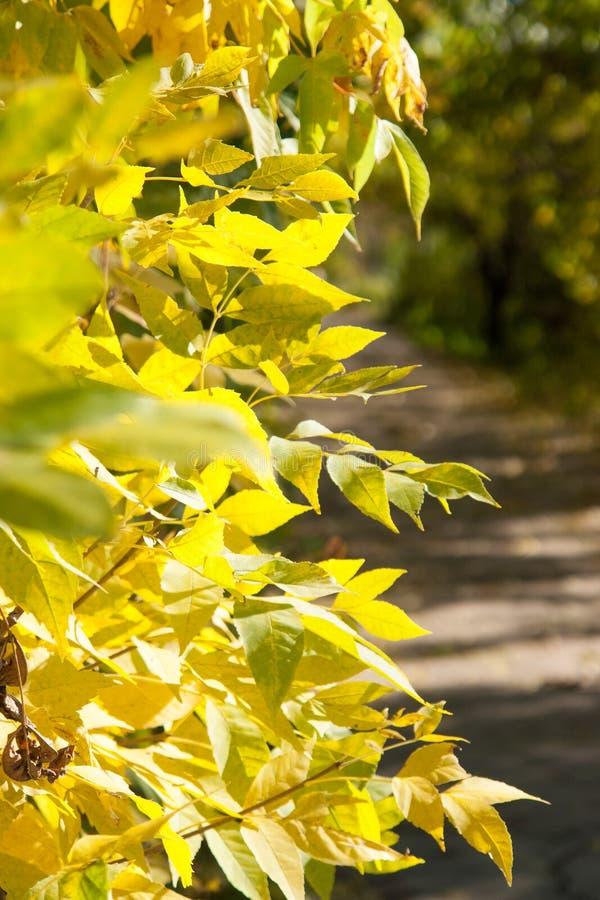 Folhas de outono na árvore do outono fotos de stock royalty free
