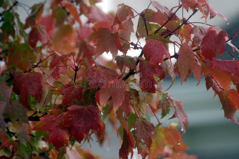 Folhas de outono na chuva imagens de stock royalty free