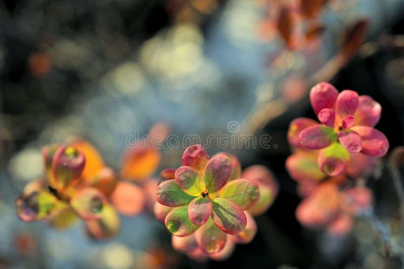 Folhas de outono na luz do por do sol (uva-do-monte de pântano ou uva-do-monte do norte) fotografia de stock