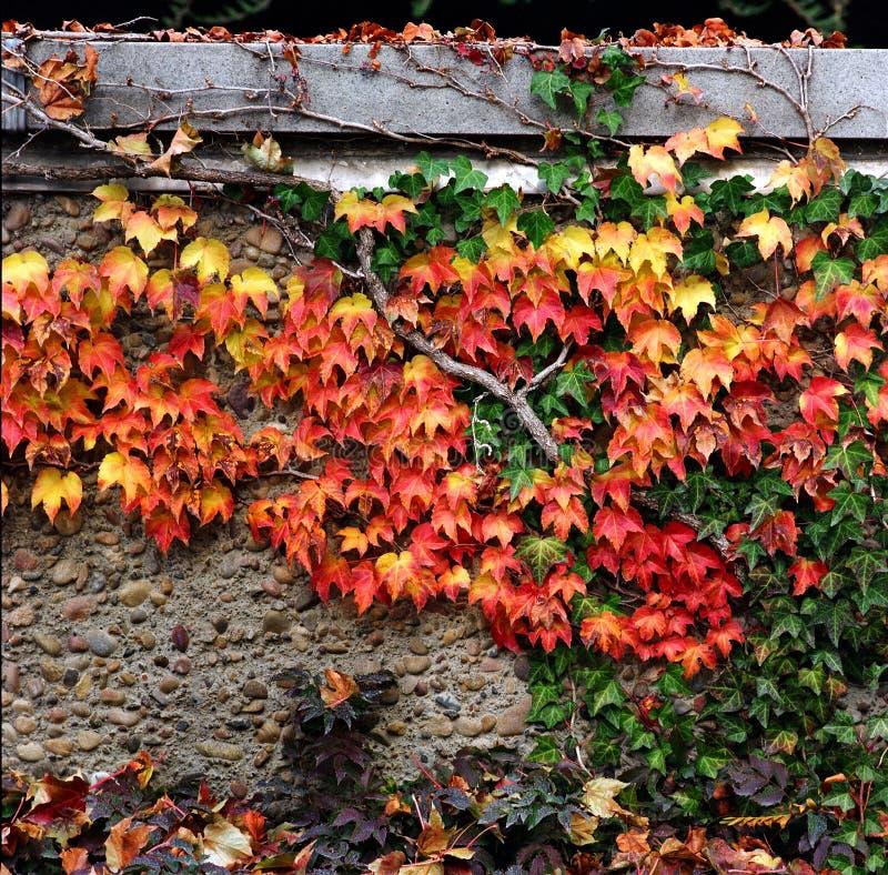 Folhas de outono na parede imagem de stock royalty free