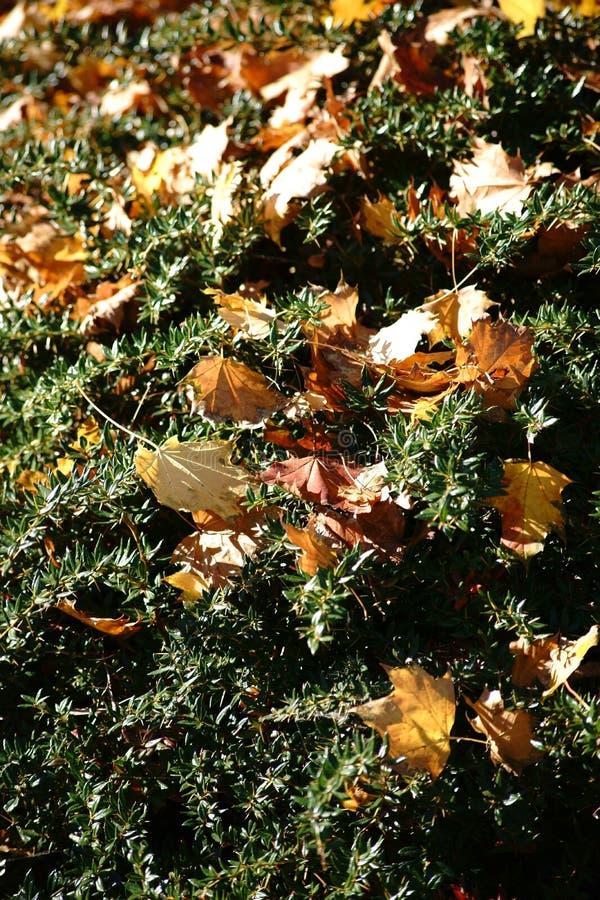 Folhas de outono no arbusto fotografia de stock