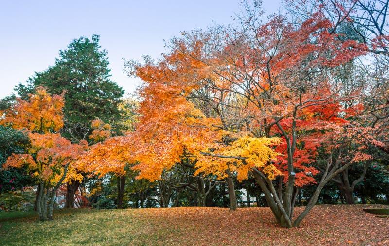 Folhas de outono no parque com folhas de bordo coloridas, Tóquio, Japão imagem de stock royalty free