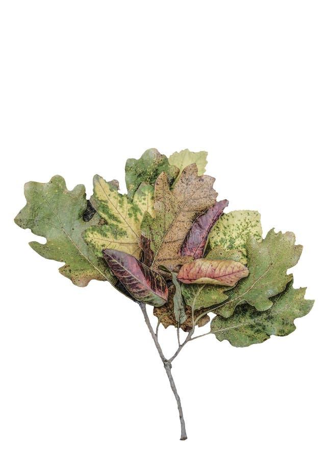 Folhas de outono secadas como uma forma da árvore isoladas no branco imagem de stock