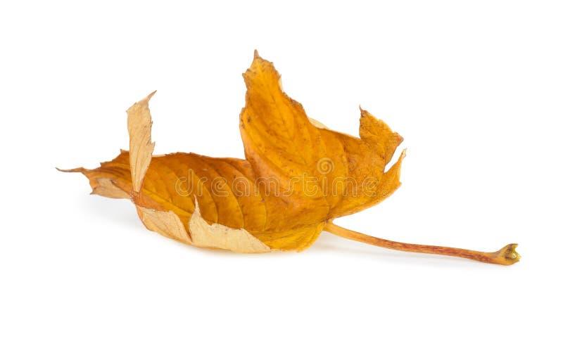 Folhas de outono secadas isoladas fotos de stock