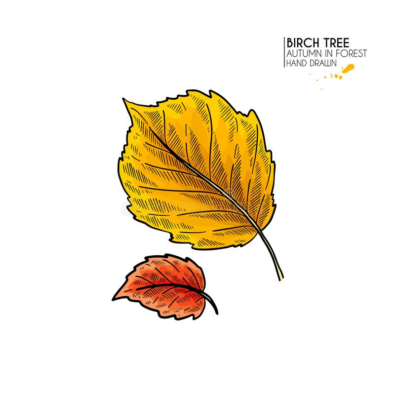 Folhas de outono tiradas m?o Ícone colorido isolado vetor da folha da árvore de vidoeiro Folliage da floresta da queda Sazonal do ilustração stock
