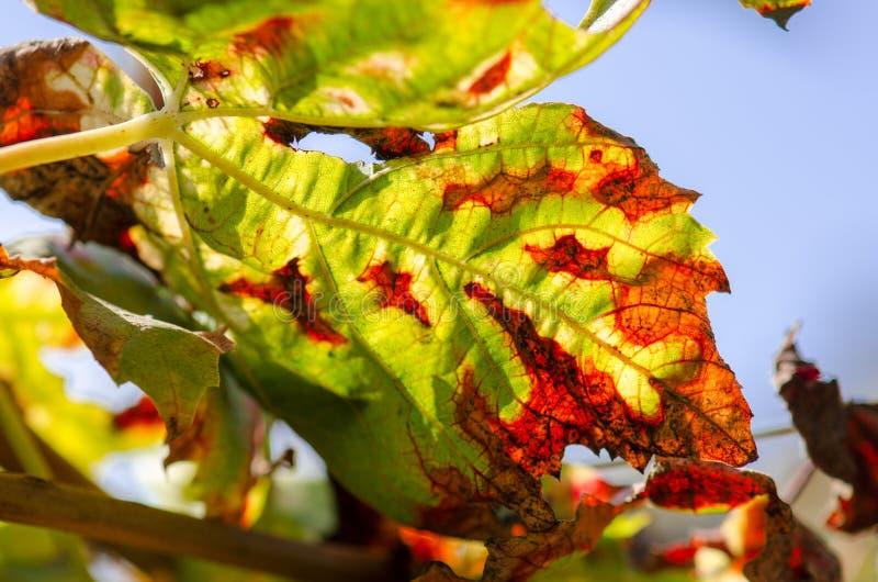 Folhas de outono verdes vermelhas no fundo do céu azul fotos de stock royalty free