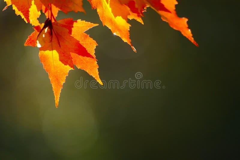 Folhas de outono vermelhas fotografia de stock royalty free