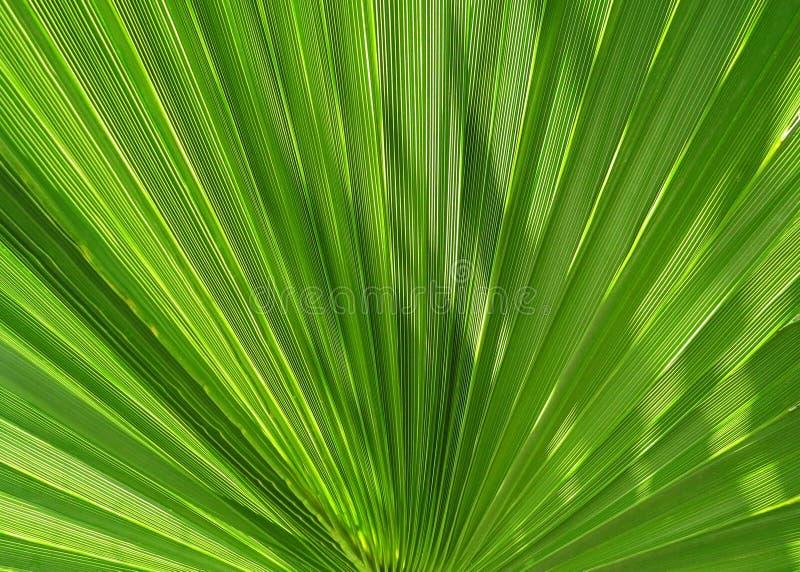 Folhas de palmeira como um fã fotografia de stock