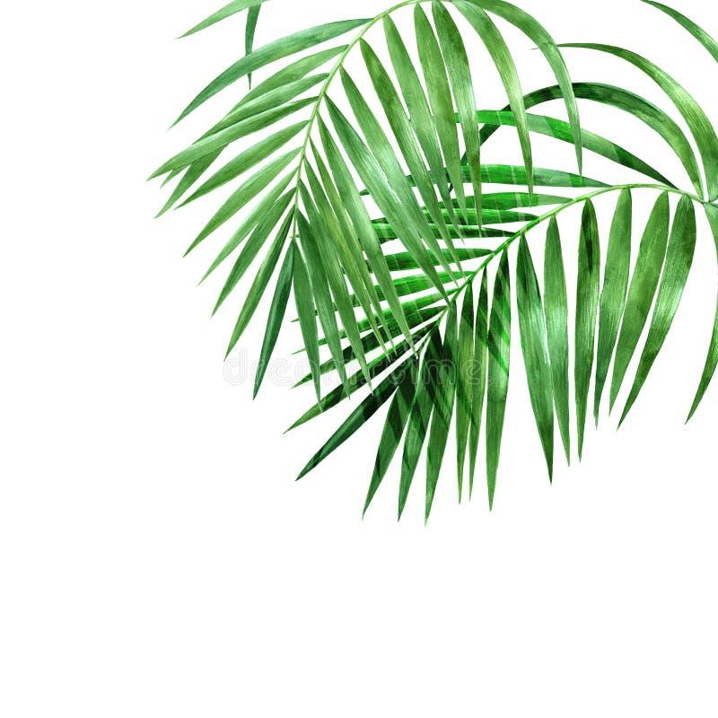 Folhas de palmeira da aquarela no fundo branco fotografia de stock