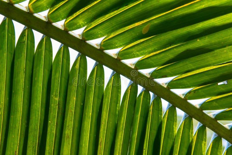 Folhas de palmeira do coco imagens de stock