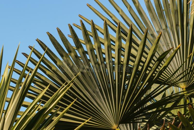 Folhas de palmeira do fã foto de stock royalty free