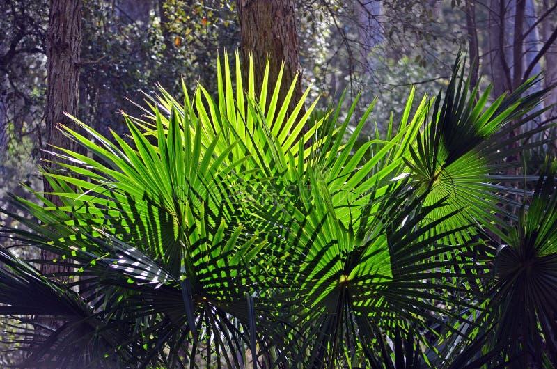 Folhas de palmeira em forma de leque iluminadas parte traseira da árvore de couve fotografia de stock royalty free
