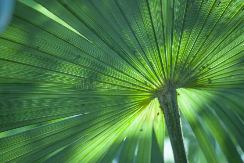 Folhas de palmeira gigantes de turquesa com luz natural e frescor imagem de stock