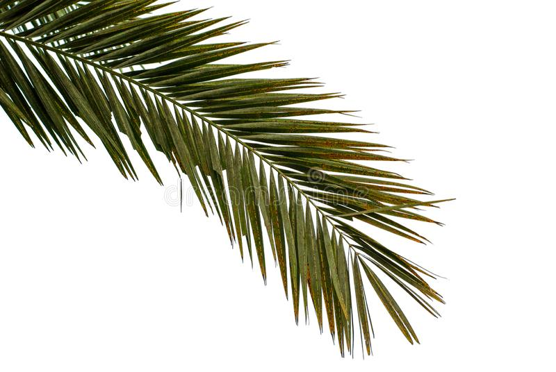 Folhas de palmeira no fundo branco foto de stock royalty free