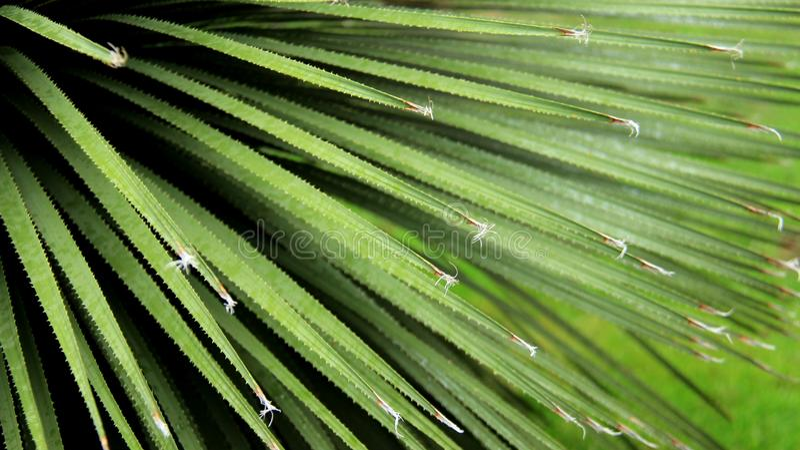 Folhas de palmeira novas imagem de stock royalty free