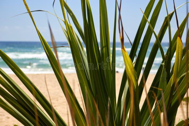Folhas de palmeira pela praia com um gafanhoto em um ramo imagens de stock