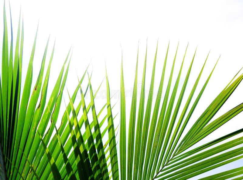 Folhas de palmeira tropicais imagens de stock