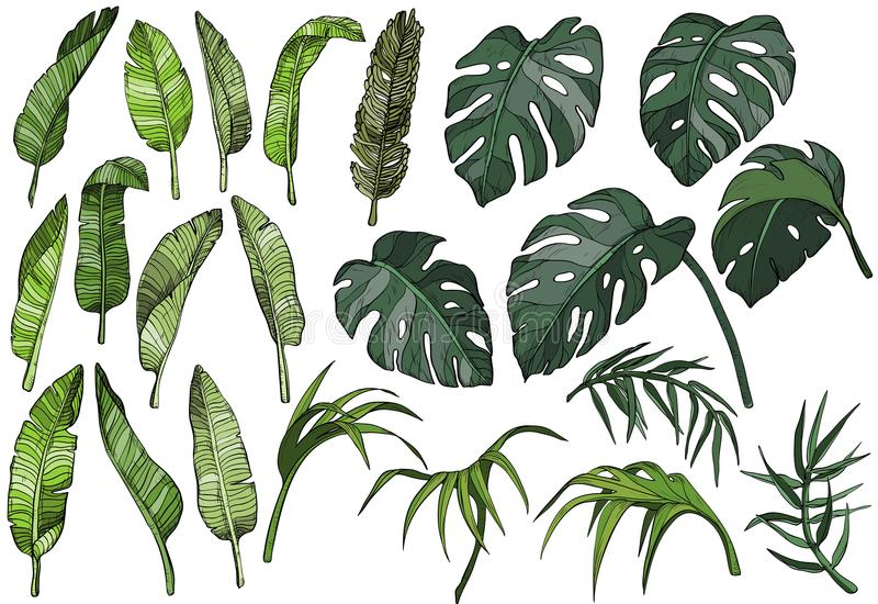 Folhas de palmeira tropicais ajustadas, plantas do vetor da selva ilustração do vetor