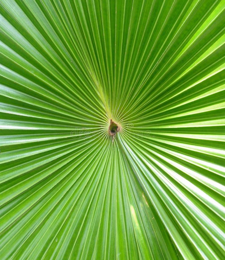 Folhas de palmeira verdes foto de stock