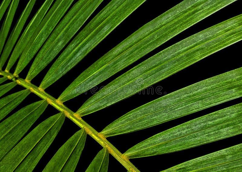 Folhas de palmeira verdes fotos de stock royalty free