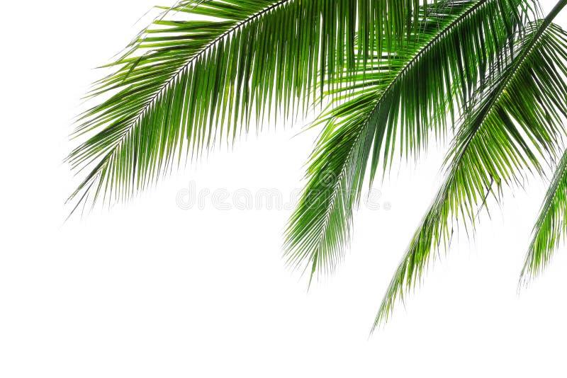 Folhas de palmeiras de coco de praia tropical isoladas sobre fundo branco, sobre o layout de frondes de palma verde para o verão  imagens de stock