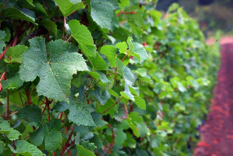Folhas de Pinot Noir fotos de stock