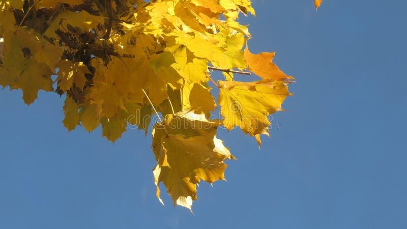 Folhas de plátano amarelas no outono foto de stock