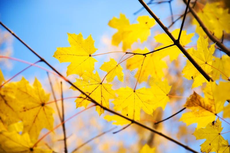 Folhas de plátano do outono em uma filial fotos de stock royalty free