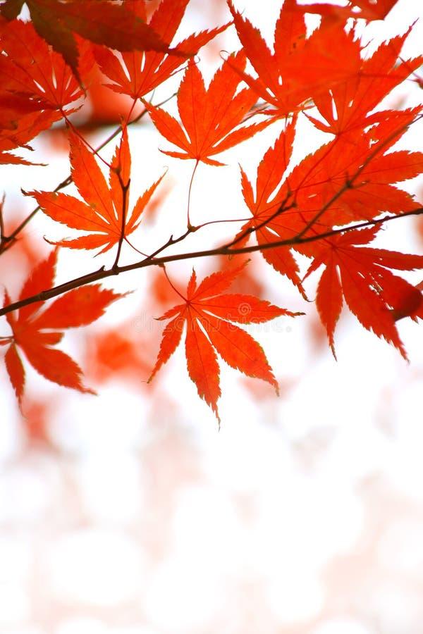 Folhas de plátano japonesas vermelhas imagens de stock royalty free