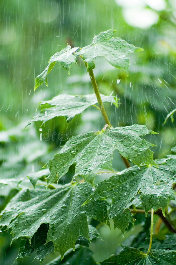 Folhas de plátano sob a chuva imagem de stock royalty free