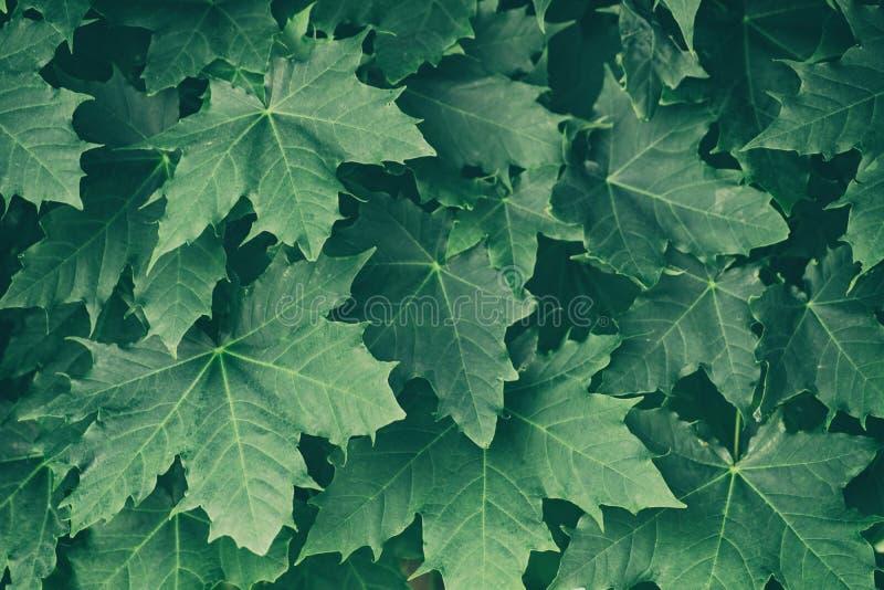 Folhas de plátano verdes fotografia de stock