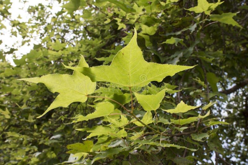 Folhas de plátano verdes fotos de stock royalty free