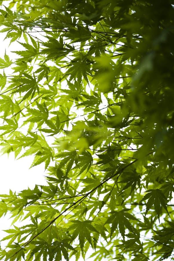 Folhas de plátano verdes japonesas foto de stock
