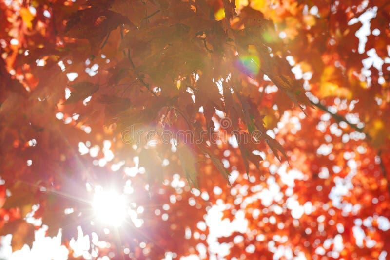 Folhas de plátano vermelhas foto de stock