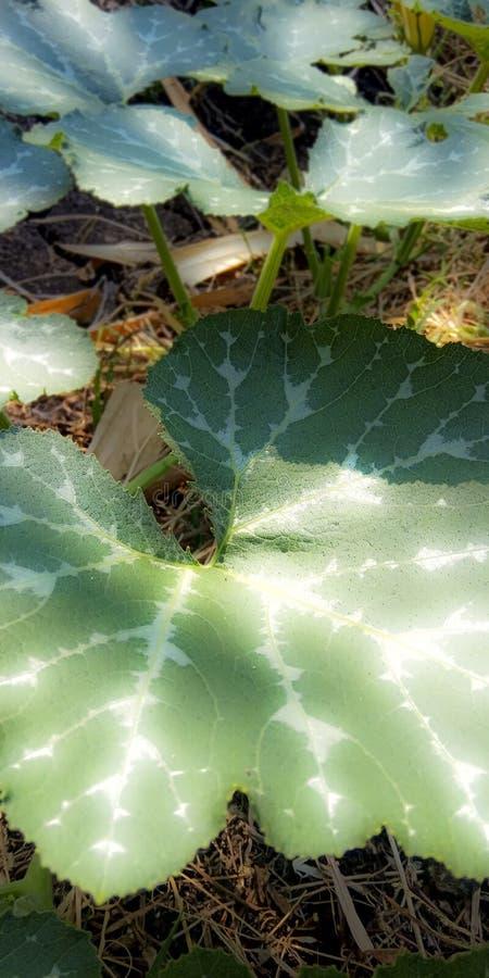 Folhas de plantas do cuco fotografia de stock