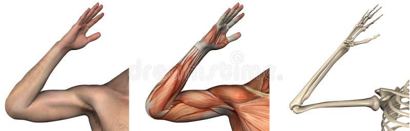 Folhas de prova anatômicas - braço direito ilustração do vetor