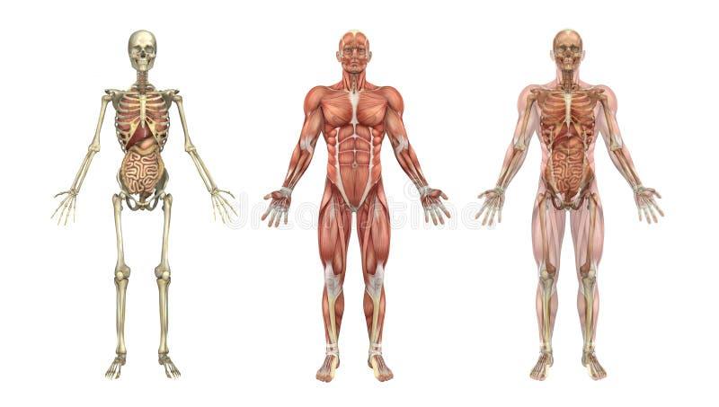 Folhas de prova anatômicas com órgãos internos ilustração royalty free