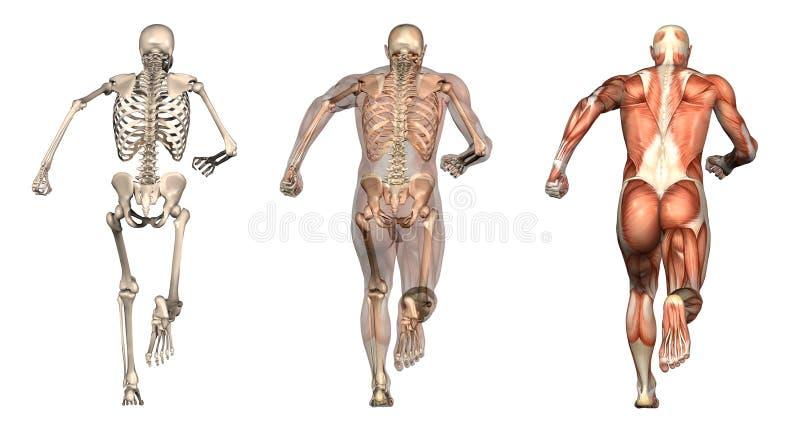 Folhas de prova anatômicas - corredor do homem - vista traseira ilustração stock