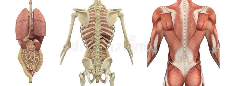 Folhas de prova anatômicas do torso - parte traseira ilustração do vetor