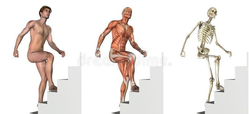 Folhas de prova anatômicas: Escadas de escalada ilustração stock