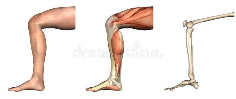 Folhas de prova anatômicas - joelho curvado ilustração do vetor