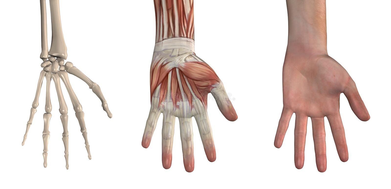 Folhas de prova anatômicas - mão ilustração stock
