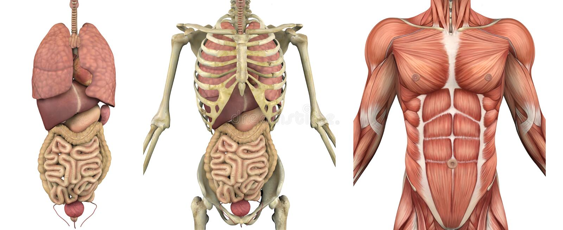 Folhas de prova anatômicas - torso masculino com órgãos ilustração do vetor