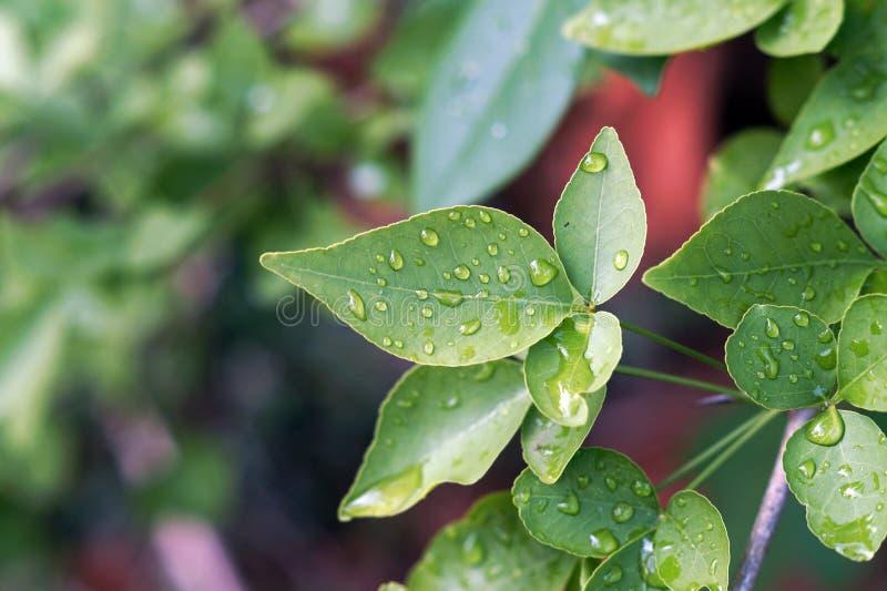 Folhas de Rosa com gotas de água imagens de stock royalty free