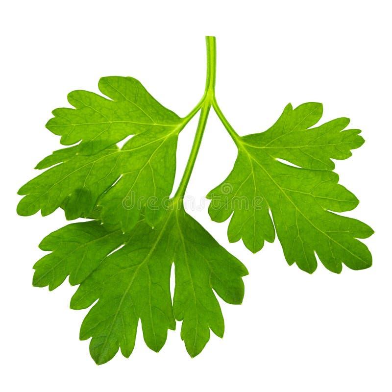 Folhas de salsa fresca isoladas sobre fundo branco macro imagens de stock royalty free