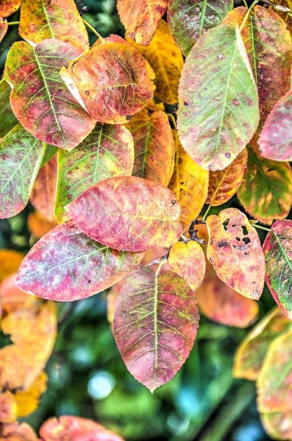 Folhas de Shadbush no outono fotos de stock