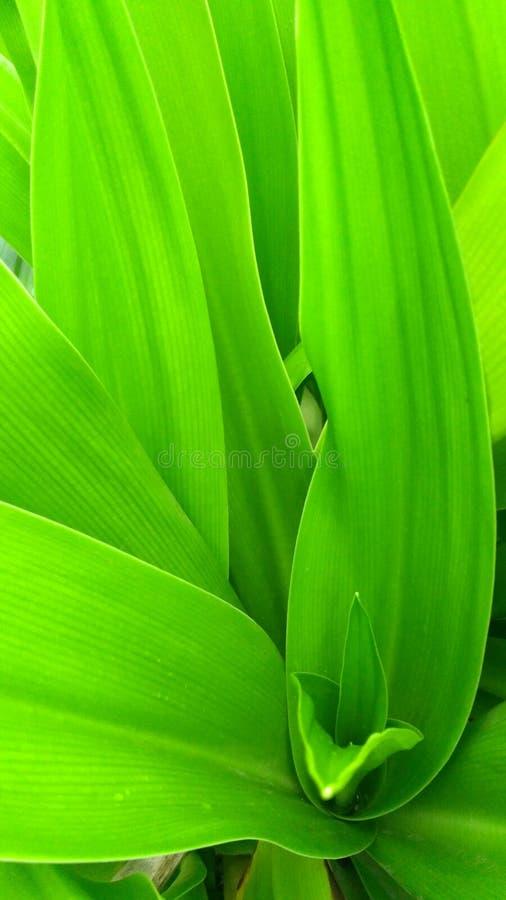 Folhas de Sudarshan fotografia de stock