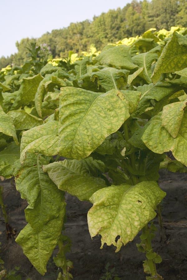Folhas de Tobacoo imagens de stock royalty free