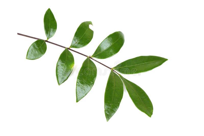 Folhas de Tongkat Ali (jaque do longifolia de Eurycoma) imagem de stock